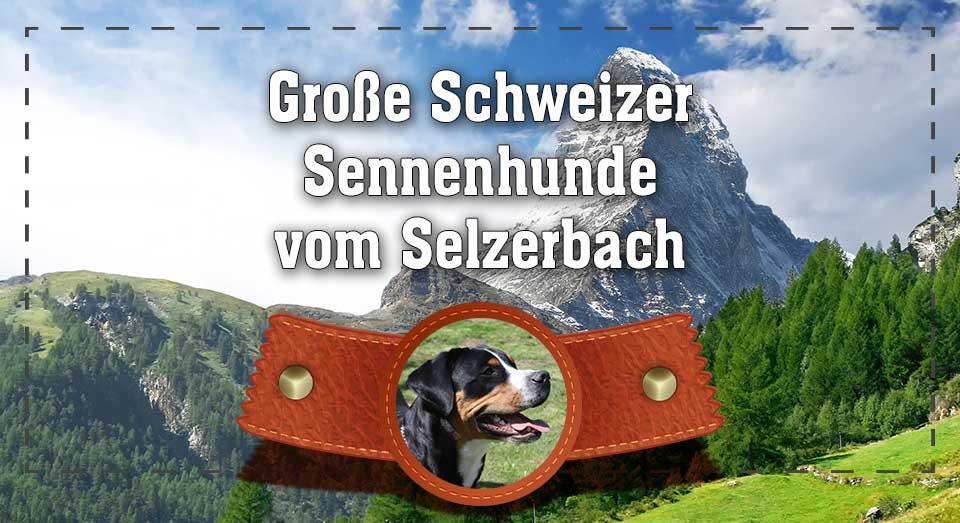 große schweizer sennenhunde